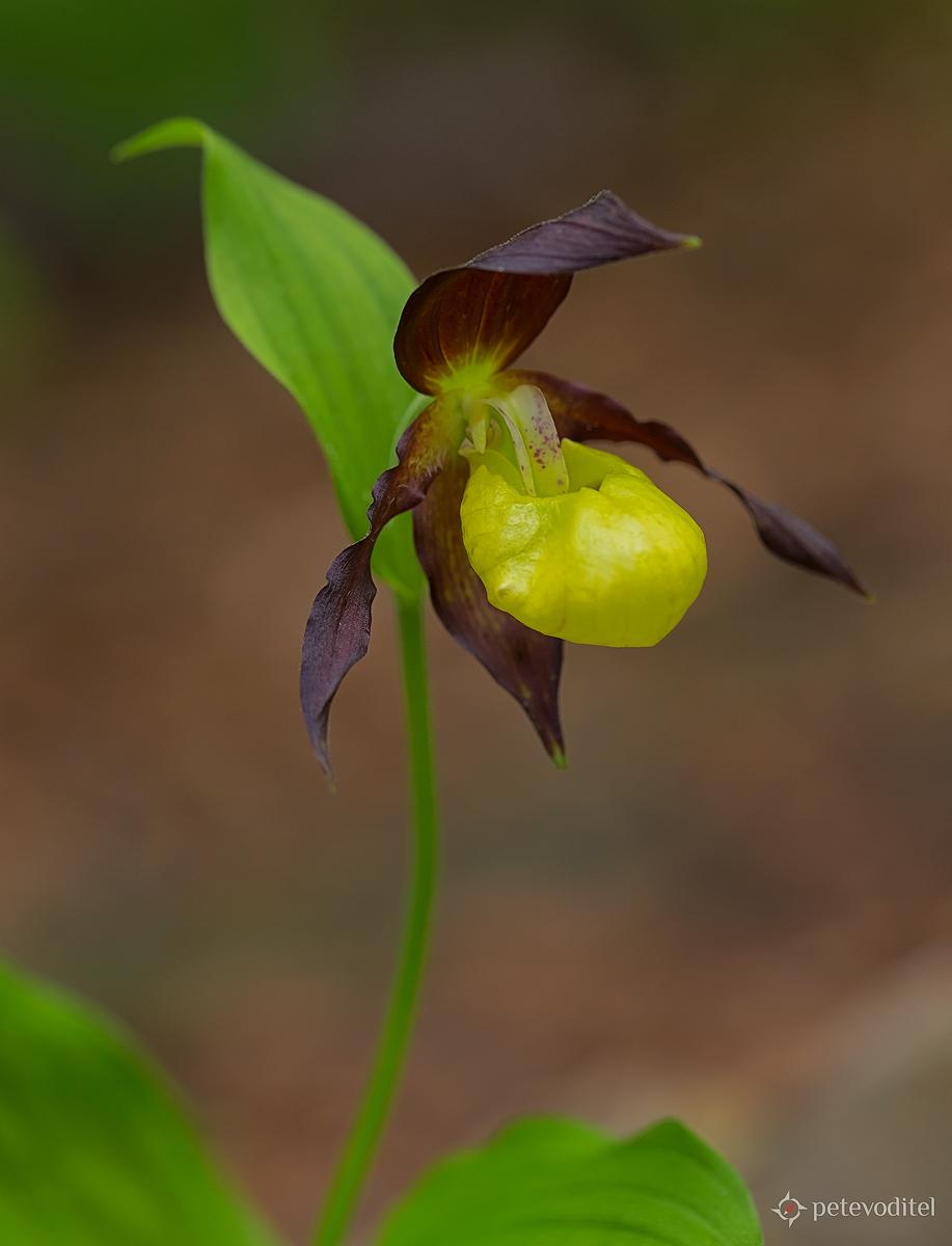 Венерина пантофка /Cypripedium calceolus/